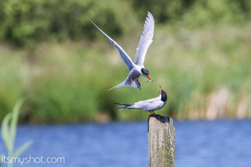Tern chick Feeding Sequence